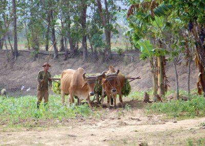Bei uns heute nicht mehr vorstellbar – Ochsen als Nutztiere – in Kuba ganz normal. Diese sind sogar auf der Autobahn anzutreffen.