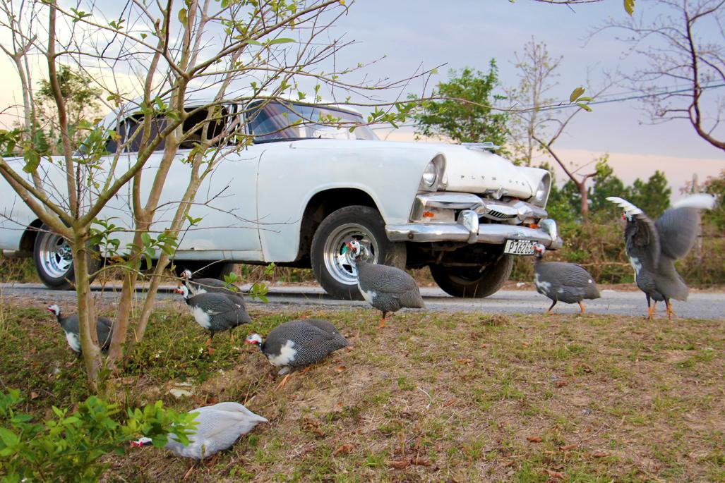 Oldtimer und Perlhühner im Valle de Vinales